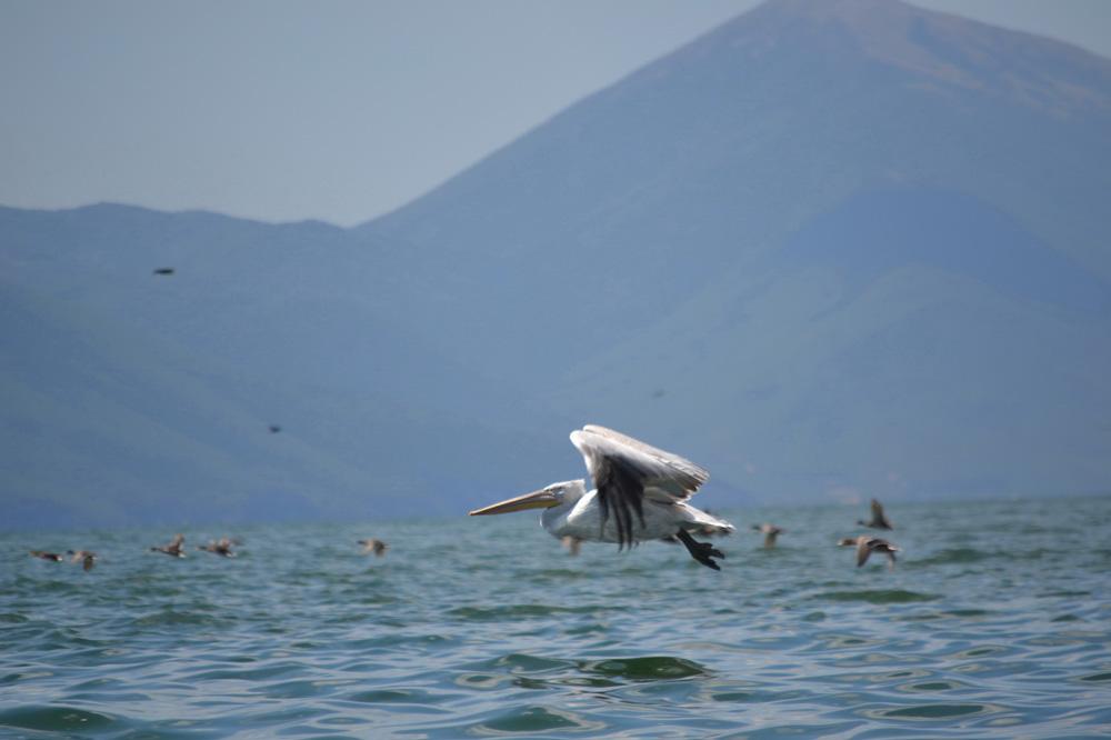 Пеликани и корморани